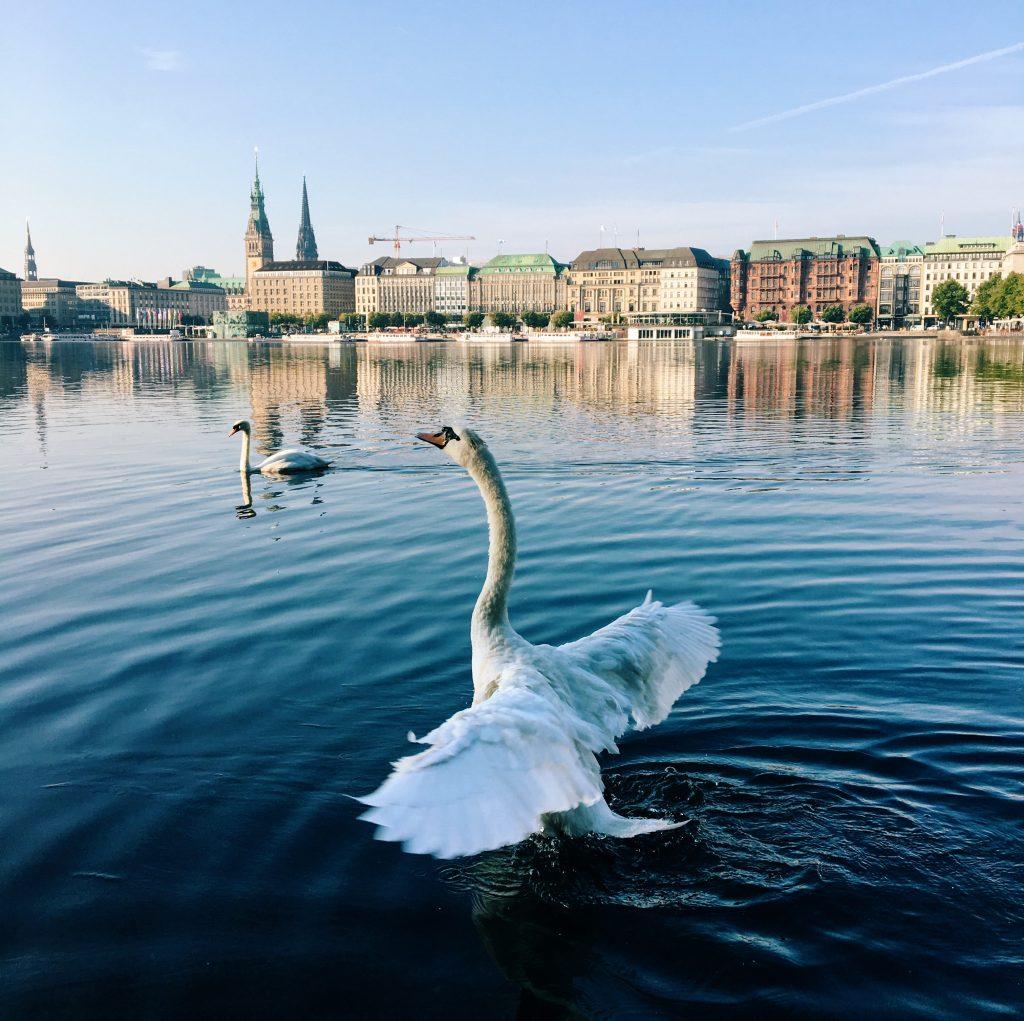 Schwan auf der Alster, im Hintergrund Hamburg