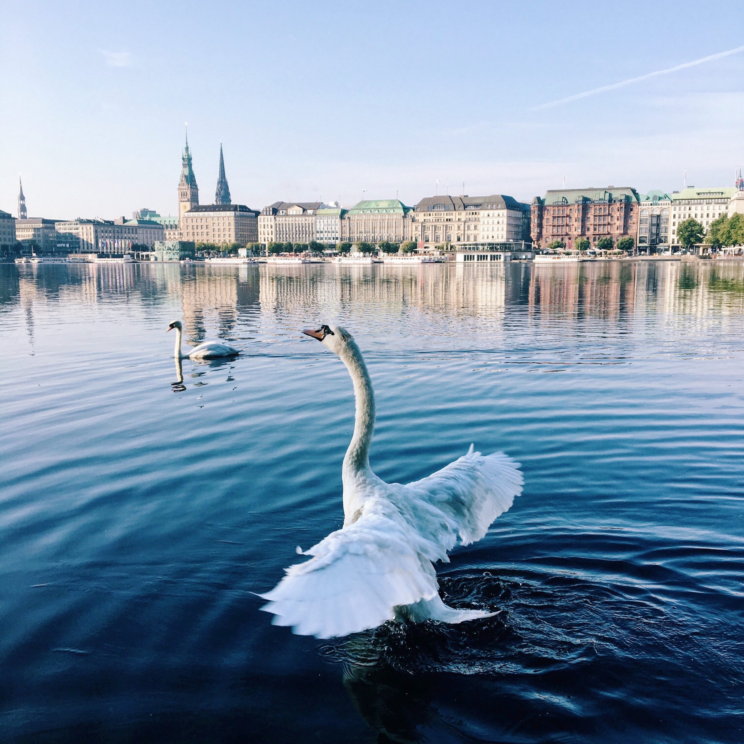 11 Dinge, Die Kaum Jemand über Hamburgs Alsterschwäne Weiß
